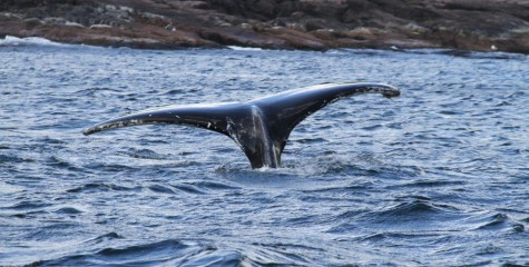 Whale snorkelling with Ocean Quest Adventures